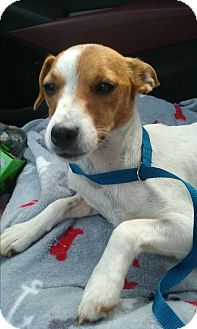 Jack Russell Terrier Mix Dog for adoption in Russellville, Kentucky - Holly