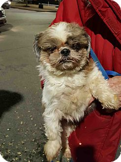 Shih Tzu/Pekingese Mix Dog for adoption in Loudonville, New York - George