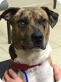 Catahoula Leopard Dog/Terrier (Unknown Type, Medium) Mix Dog for adoption in Huntley, Illinois - McGee