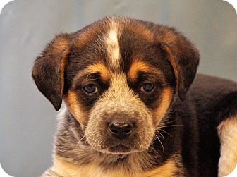 Spaniel (Unknown Type)/Australian Cattle Dog Mix Puppy for adoption in Maynardville, Tennessee - Emily