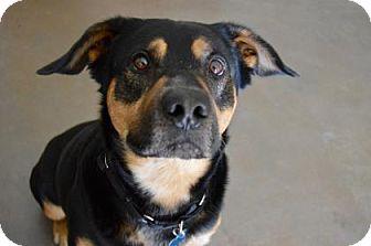 Rottweiler/German Shepherd Dog Mix Dog for adoption in Buena Vista, Colorado - Axle