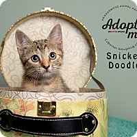 Adopt A Pet :: Snicker Doodle - Friendswood, TX