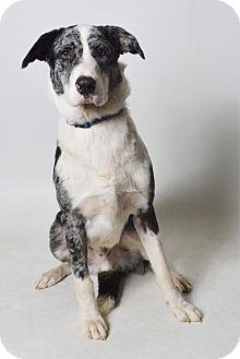 Australian Shepherd/Australian Cattle Dog Mix Dog for adoption in Fruit Heights, Utah - Ziggy