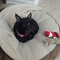 Italian Greyhound/Chihuahua Mix Dog for adoption in Christiana, Tennessee - Odie *Courtesy Post*
