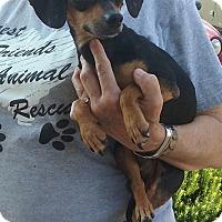 Adopt A Pet :: Ridge - Russellville, KY