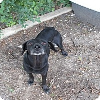 "Adopt A Pet :: ""BRO"" - Copperas Cove, TX"