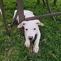 Adopt A Pet :: Kiara - Garden City, MI