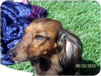 Dachshund Dog for adoption in Garden Grove, California - BEBE