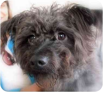 Cairn Terrier Mix Dog for adoption in Vista, California - Snooker