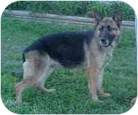 German Shepherd Dog Dog for adoption in Hagerstown, Maryland - Willow