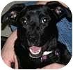 Labrador Retriever Mix Dog for adoption in Hamilton, Ontario - Muffins