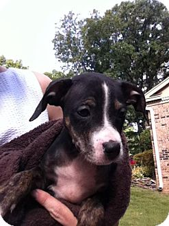 Boxer/Mountain Cur Mix Puppy for adoption in Cranford, New Jersey - Deet