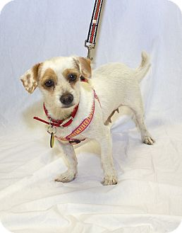 Parson Russell Terrier/Terrier (Unknown Type, Small) Mix Dog for adoption in Culver City, California - Lily