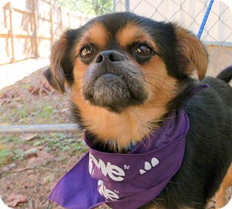 Pekingese/Chihuahua Mix Dog for adoption in North Little Rock, Arkansas - Groucho