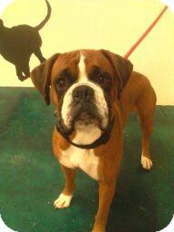Boxer Dog for adoption in Reno, Nevada - Shrek