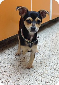 Spaniel (Unknown Type)/Chihuahua Mix Puppy for adoption in Oceanside, California - Jolie