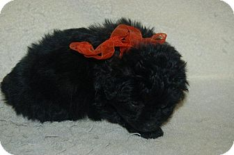 Poodle (Toy or Tea Cup)/Dachshund Mix Puppy for adoption in Hazard, Kentucky - Cooper