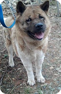 Akita Dog for adoption in North Haven, Connecticut - Abby