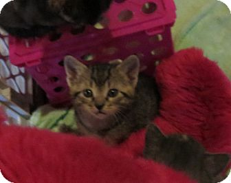 Domestic Shorthair Kitten for adoption in Geneseo, Illinois - Jethro