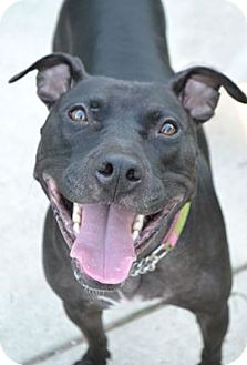 Pit Bull Terrier/American Pit Bull Terrier Mix Dog for adoption in Toledo, Ohio - Ladybug