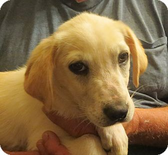 Labrador Retriever Mix Puppy for adoption in Westport, Connecticut - Jordan