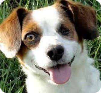 Beagle Dog for adoption in Wakefield, Rhode Island - SPUDS(WHAT A STORY--MUST READ!