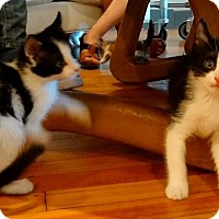 Adopt A Pet :: Sergei - St. Louis, MO
