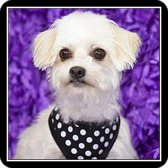 Maltese/Terrier (Unknown Type, Small) Mix Dog for adoption in San Diego, California - Reba