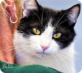 Domestic Shorthair Cat for adoption in Martinsville, Indiana - Figaro