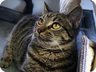 Domestic Shorthair Cat for adoption in Republic, Washington - Oregano