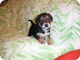 Australian Shepherd/English Shepherd Mix Puppy for adoption in West Milford, New Jersey - FLURRI