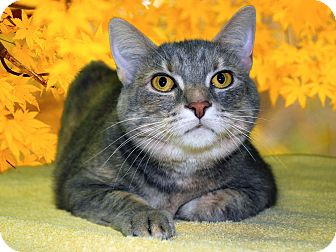 Domestic Shorthair Cat for adoption in New Castle, Pennsylvania - KiKi