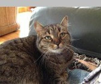Domestic Shorthair Cat for adoption in Pittsboro, North Carolina - PENNY