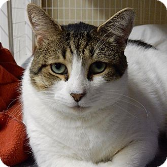 Domestic Shorthair Cat for adoption in Long Beach, New York - Luck