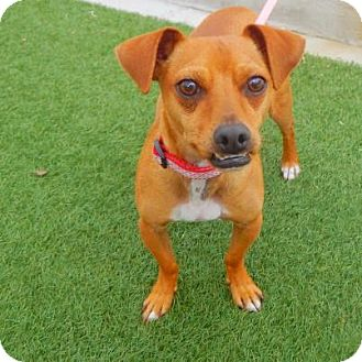 Jack Russell Terrier/Chihuahua Mix Dog for adoption in Denver, Colorado - Shiloh