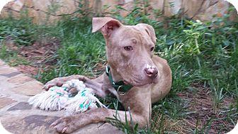 Pit Bull Terrier Mix Dog for adoption in Alpharetta, Georgia - April