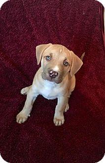 American Bulldog/Husky Mix Puppy for adoption in Woodstock, Georgia - Maverick
