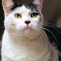 Domestic Shorthair Cat for adoption in Chicago, Illinois - Moo Moo