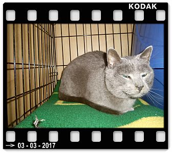Russian Blue Cat for adoption in Medford, Wisconsin - SMOKEY