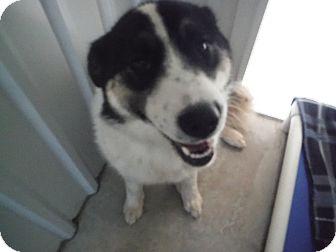Australian Shepherd Mix Dog for adoption in McIntosh, New Mexico - Lily