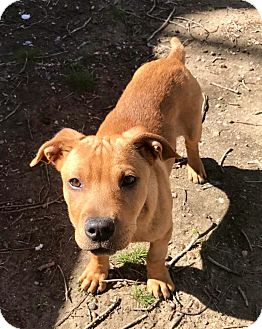 Labrador Retriever Mix Puppy for adoption in Waldorf, Maryland - Dixon ADOPTION PENDING