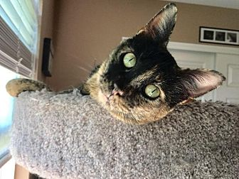 Domestic Shorthair Cat for adoption in St. Louis, Missouri - Twyla
