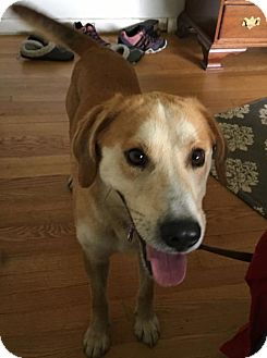 Retriever (Unknown Type)/Hound (Unknown Type) Mix Dog for adoption in Potomac, Maryland - Grover - Adoption Pending