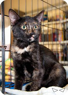 Domestic Shorthair Kitten for adoption in Dallas, Texas - Turtle