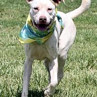 Adopt A Pet :: Callie - Norman, OK