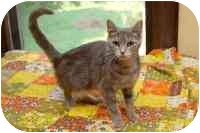 Domestic Shorthair Cat for adoption in Jeffersonville, Indiana - Krog-ere