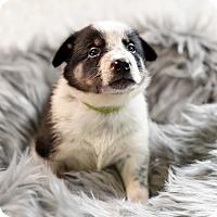 Adopt A Pet :: Claudius - Plainfield, IL