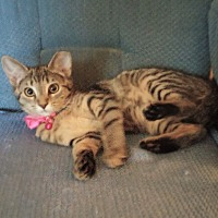 Adopt A Pet :: ABBY-DECLAWED 5 month - Taylor Mill, KY