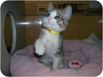 Domestic Shorthair Kitten for adoption in Walker, Michigan - Chase