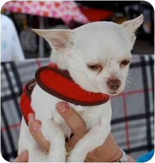 Chihuahua Mix Dog for adoption in San Diego, California - Opie